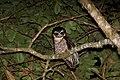 Band-bellied Owl (Pulsatrix melanota) (9499668356).jpg