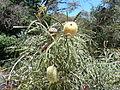 Banksia speciosa 2.jpg