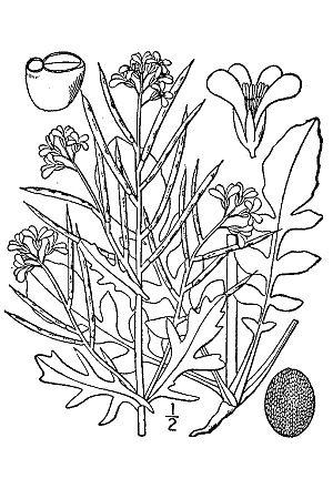 Barbarea verna - Image: Barbarea verna BB 1913