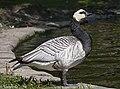 Barnacle goose.jpg