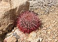 Barrel Cactus 01.jpg