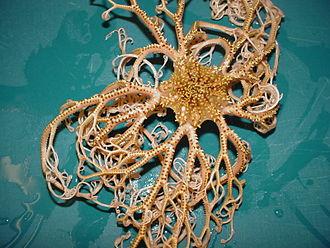 Basket star - Image: Basket Star NOAA