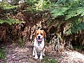Beagliers love a good walk.JPG