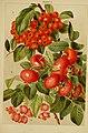 Beautiful flowering trees and shrubs for British and Irish gardens (1903) (20172090419).jpg