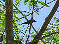 Beautiful sunbird Kédougou.jpg