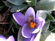 Bestand:Bee on crocus.ogv