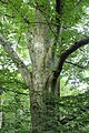 Beech-tree.JPG
