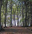 Beech grove near Lejre.jpg