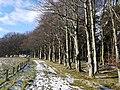 Beech trees alongside Carriageway above Addycombe Farm - geograph.org.uk - 1151798.jpg