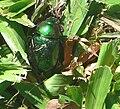 BeetleBrazil 134.jpg
