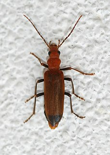 Wharf borer species of insect