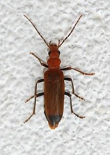 Wharf borer Species of beetle