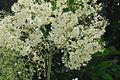 Begonia parviflora (14402996113).jpg