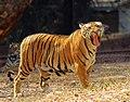 Bengal tiger yawning 1.jpg