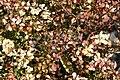 Berberis thunbergii Bonanza Gold 2zz.jpg