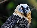 Berlin Tierpark Friedrichsfelde 12-2015 img16 Bearded vulture.jpg