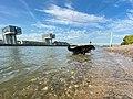 Berner Sennenhund im Rhein in Köln, Deutschland (48988172611).jpg