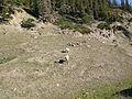 Bighorn Sheep Jasper.jpg