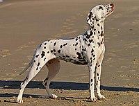 Catahoula Dog Barking