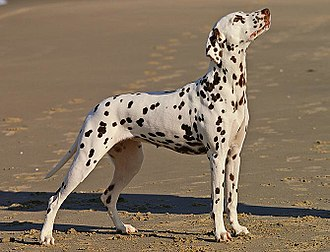 Dalmatian dog - A tricolor Dalmatian female—with tan spotting on the eyebrows, snout, cheeks, neck, chest, and legs.