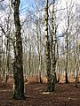 Birches in Houghen Plantation - geograph.org.uk - 1205860.jpg