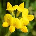Bird's-foot Trefoil (Lotus corniculatus) - Guelph, Ontario 2020-06-07 (01).jpg