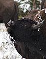 Bison flehmen closeup.jpg