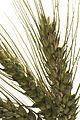 Blé tendre hiver AO (FLAMENKO)-17-cliche Jean Weber (23715272279).jpg
