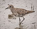 Black-bellied Plover, non-breeding plumage (32524394284).jpg