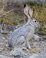 Black-tailed jackrabbit (Lepus californicus) (31100880715).jpg