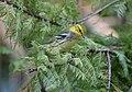 Black-throated Green Warbler (30180546775).jpg