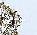 Black Bittern (Dupetor flavicollis) in Kinnarsani WS, AP W IMG 6115.jpg
