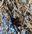 Black Flying Fox. Pteropus alecto - Flickr - gailhampshire.jpg