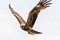 Black Kite (Milvus migrans) Goes Fish-Hunting.jpg