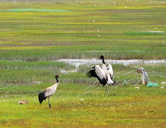 Black-necked crane - A couple of black-necked Tibetan cranes spotted in 2013 near Yamdrok Lake, Xizang (Tibet), China