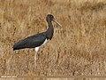Black Stork (Ciconia nigra) (40111634821).jpg