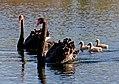 Black Swans. (Cygnus atratus) (8900097248).jpg