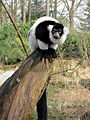 Black and White Ruffed Lemur (6488536269).jpg