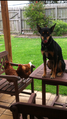 Black and tan Kelpie with chickens.PNG