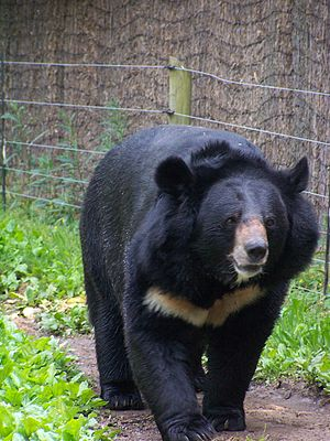 Field GuideMammalsBlack Bear