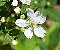 Blackberry flower UMFS.jpg
