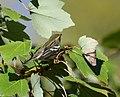 Blackburnian Warbler (37773205262).jpg