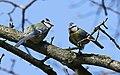 Blaumeise (Cyanistes caeruleus) im Grünfelder Park in Waldenburg. 2H1A3573WI.jpg