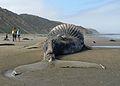 Bloated Humpback Whale (Megaptera novaeangliae) - Montaña de Oro State Park - California - 3 July 2014 - (1).jpg