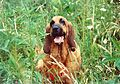 Bloodhound Female Beulah in Tall Grass 8206x5774 by A Silverstein.jpg