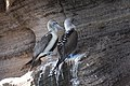 Blue-footed Boobies (40812025033).jpg