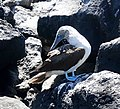 Blue-footed Booby (47749611012).jpg