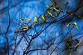 Blue-gray gnatcatcher (46719585582).jpg