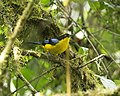 Blue-winged Mountain-tanager (Anisognathus somptuosus) (20087561934).jpg