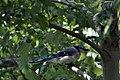 Blue Jay (4846294637).jpg